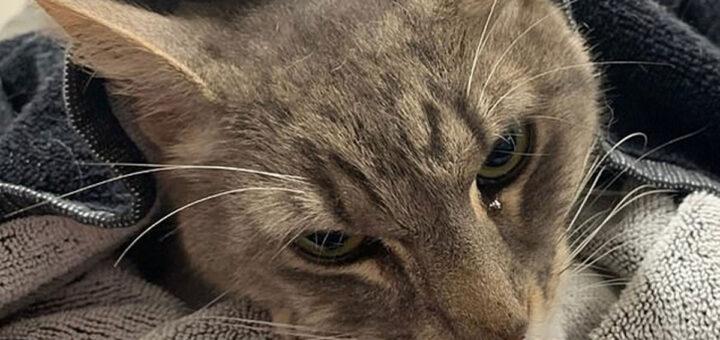 Arthur, o gato morre a salvar duas crianças de cobra venenosa