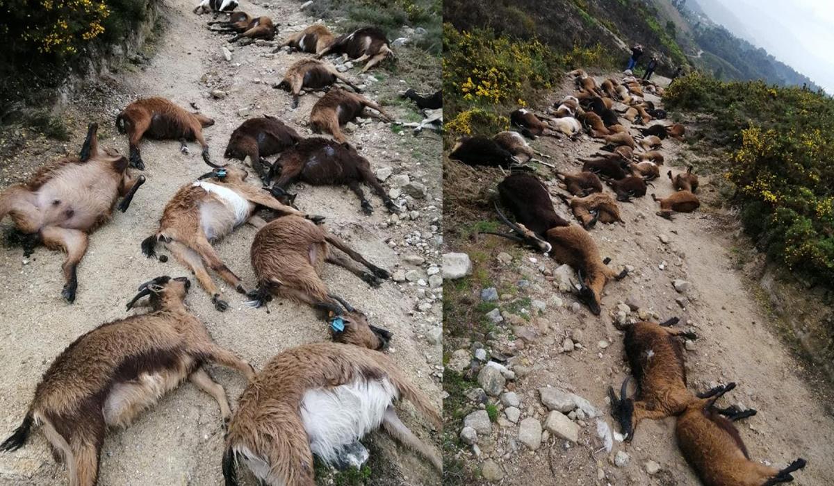 Cenário de terror: Raio atinge rebanho e mata 68 cabras em Gondoriz
